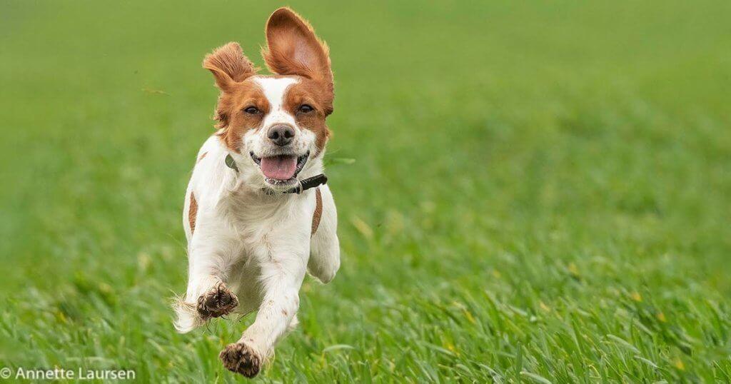Husk at tilmelde din hund, der er født i 2019 til Derby i 2021